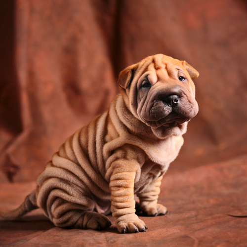 Shar Pei puppy for sale at Canine Corral Huntington Station, NY 11746