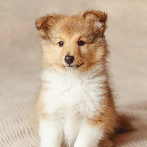 Shetland Sheepdog puppy for sale at Canine Corral Huntington Station, NY 11746