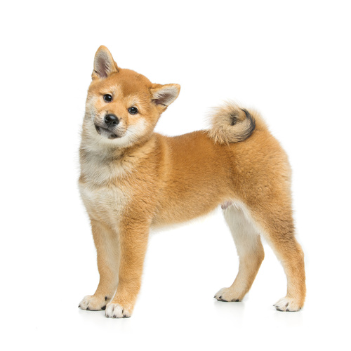 Shiba Inu puppy for sale at Canine Corral Huntington Station, NY 11746