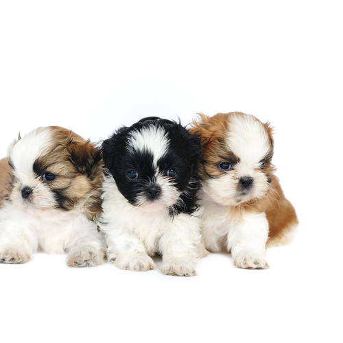 Shih Tzu puppy for sale at Canine Corral Huntington Station, NY 11746