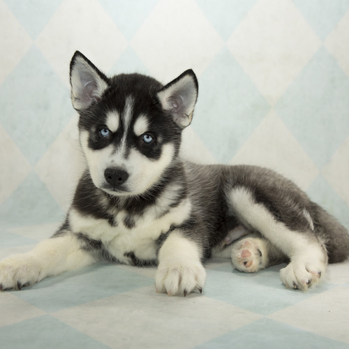 Siberian Husky puppy for sale at Canine Corral Huntington Station, NY 11746