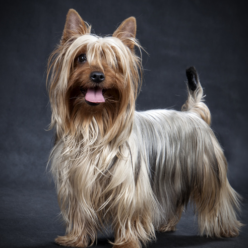 Silky Terrier puppy for sale at Canine Corral Huntington Station, NY 11746