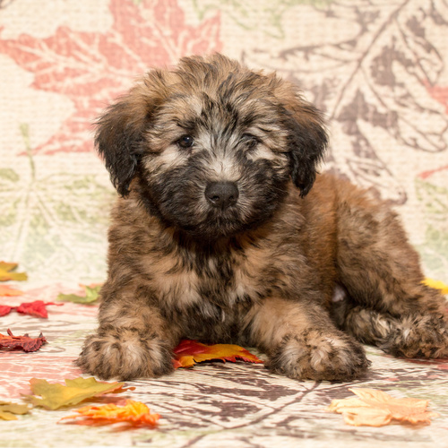 Soft Coated Wheaten Terrier puppies for sale at Canine Corral Huntington Station, NY 11746