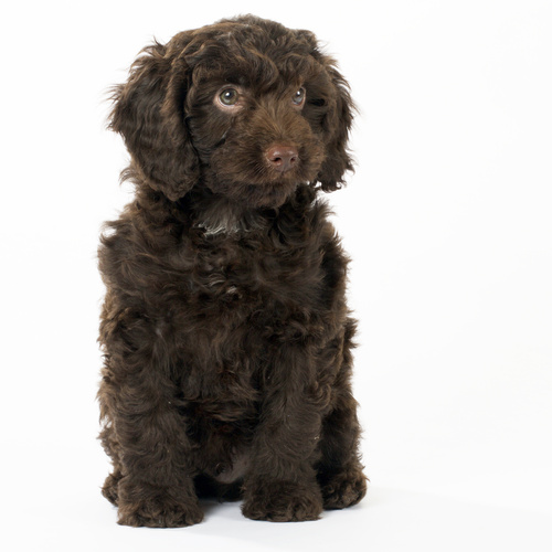 Springerdoodle puppy for sale at Canine Corral Huntington Station, NY 11746
