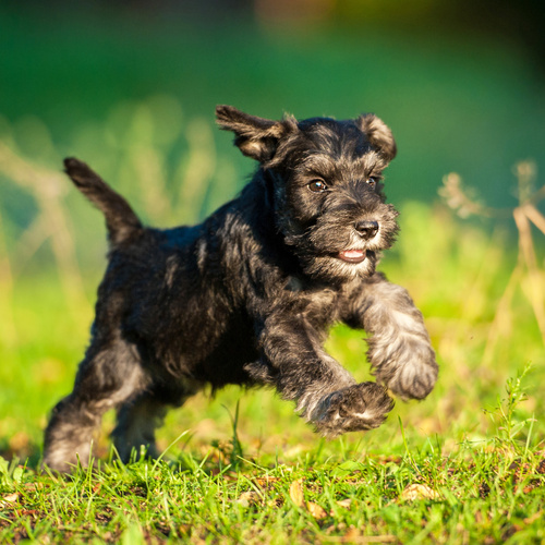 Standard Schnauzer puppy for sale at Canine Corral Huntington Station, NY 11746