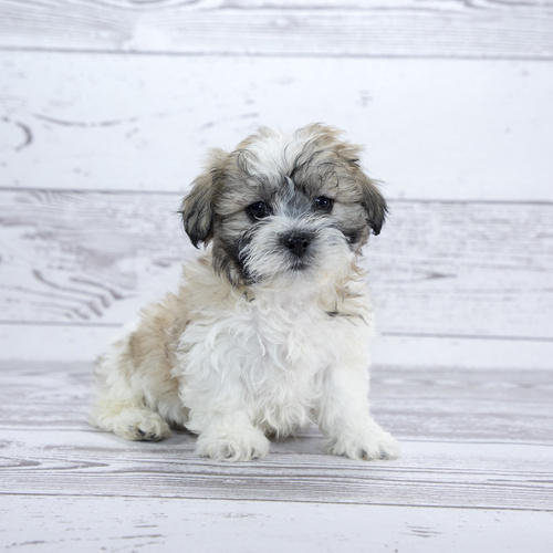 Teddy Bear puppies for sale at Canine Corral Huntington Station, NY 11746