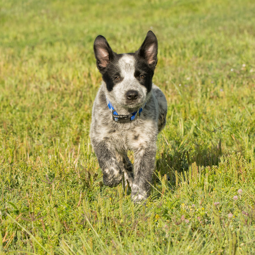 Texas Heeler puppies for sale at Canine Corral Huntington Station, NY 11746