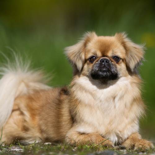 Tibetan Spaniel puppy for sale at Canine Corral Huntington Station, NY 11746