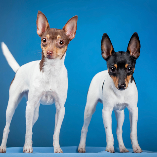 Toy Fox Terrier puppy for sale at Canine Corral Huntington Station, NY 11746