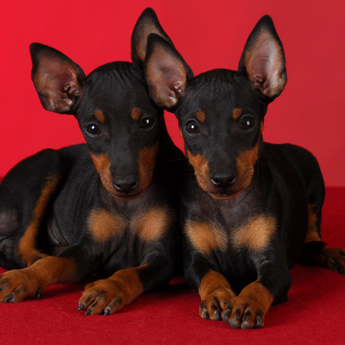 Toy Manchester Terrier puppy for sale at Canine Corral Huntington Station, NY 11746