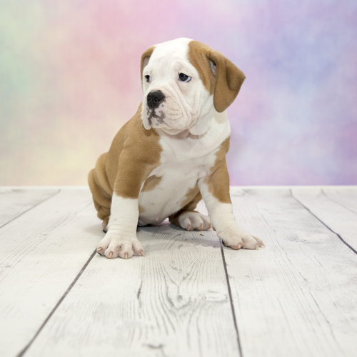 Victorian Bulldog puppy for sale at Canine Corral Huntington Station, NY 11746