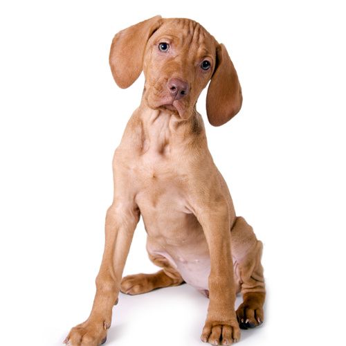 Vizsla puppy for sale at Canine Corral Huntington Station, NY 11746