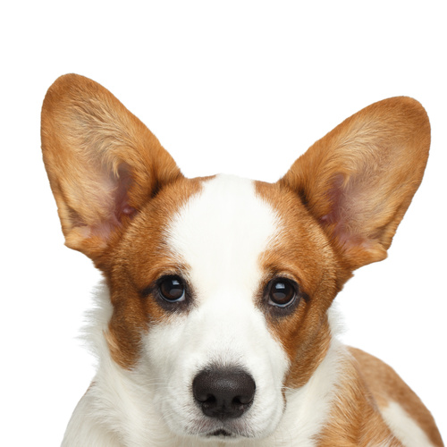 Welsh Corgi puppy for sale at Canine Corral Huntington Station, NY 11746