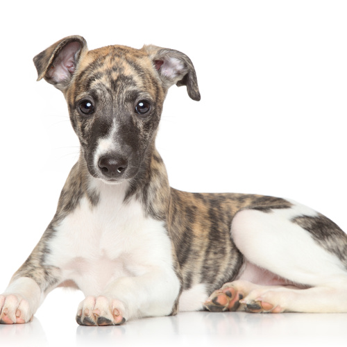 Whippet puppy for sale at Canine Corral Huntington Station, NY 11746