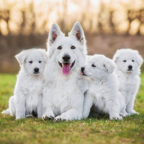 White Shepherd puppy for sale at Canine Corral Huntington Station, NY 11746
