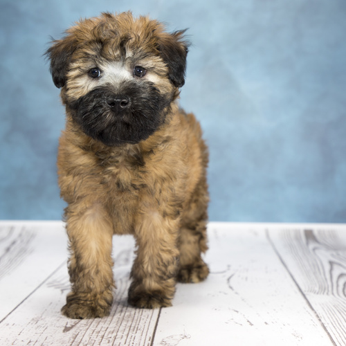 Whoodle puppies for sale at Canine Corral Huntington Station, NY 11746