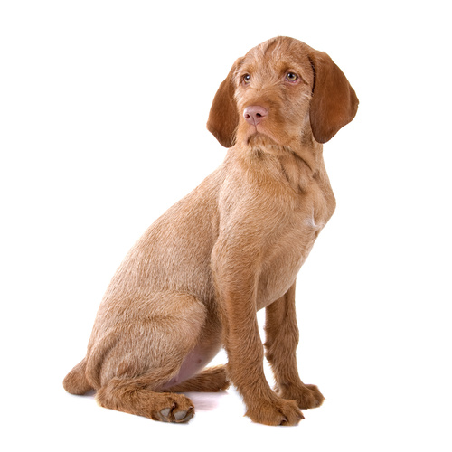 Wirehaired Vizsla puppies for sale at Canine Corral Huntington Station, NY 11746