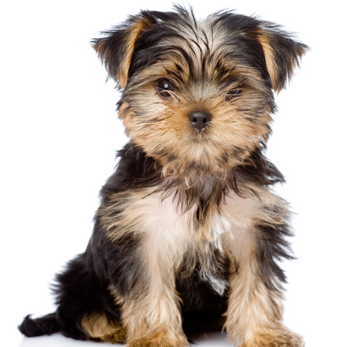 Yorkiepoo puppy for sale at Canine Corral Huntington Station, NY 11746