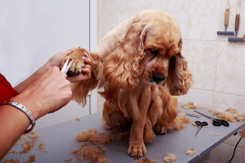 Professional Dog groomer clipping dogs feet