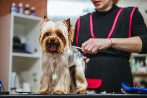 Professional Dog groomer clipping dog on table