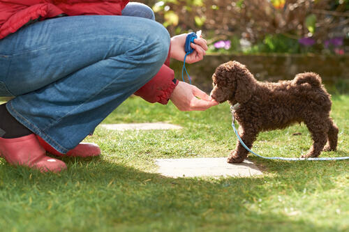 Training a puppy using a treats and a clicker