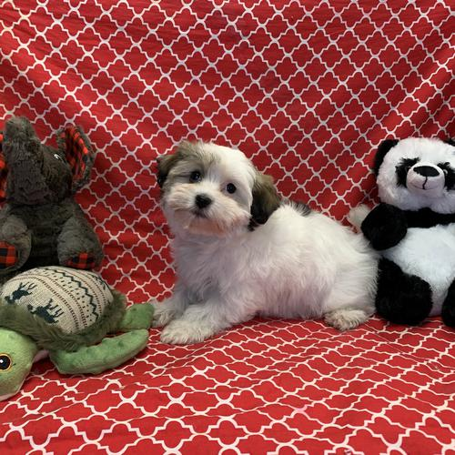 Havanese puppy for sale at canine corral located at 1845 New York Ave Huntington Station, NY 17746