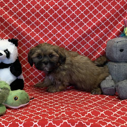 Lhasa Apso puppy for sale at canine corral located at 1845 New York Ave Huntington Station, NY 17746