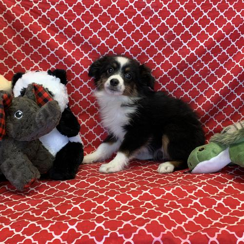 Mini Australian Shepherd puppy for sale at canine corral located at 1845 New York Ave Huntington Station, NY 17746