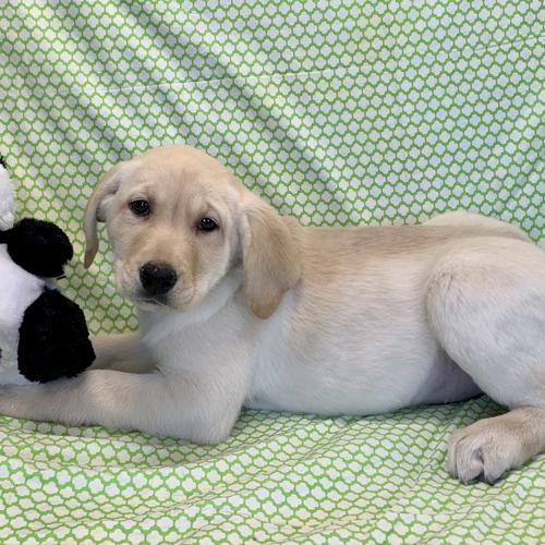 Labrador Retriever puppy for sale at canine corral located at 1845 New York Ave Huntington Station, NY 17746