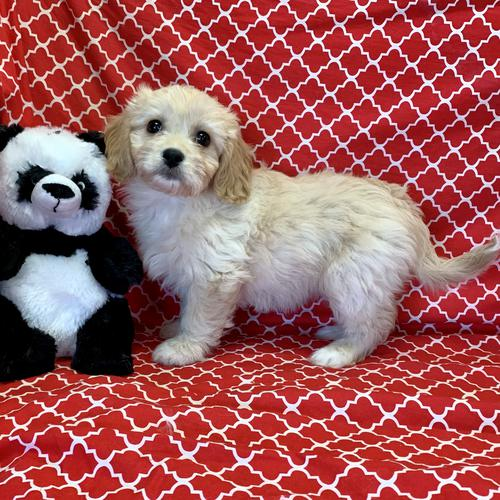 Cavachon puppy for sale at canine corral located at 1845 New York Ave Huntington Station, NY 17746