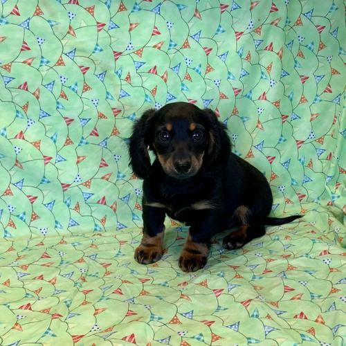 Dachshund puppy for sale at canine corral located at 1845 New York Ave Huntington Station, NY 17746
