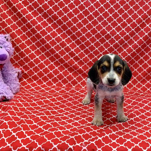 Beagle puppy for sale at canine corral located at 1845 New York Ave Huntington Station, NY 17746