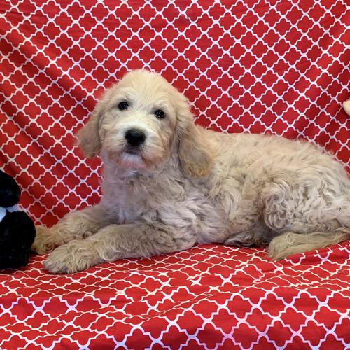 Goldendoodle puppy for sale at canine corral located at 1845 New York Ave Huntington Station, NY 17746