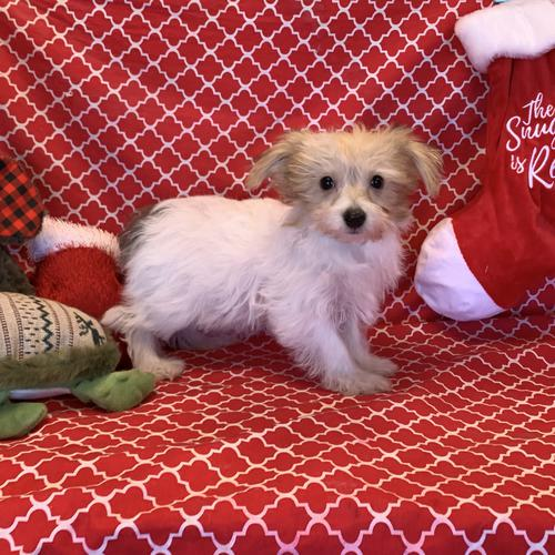 Shorkie puppy for sale at canine corral located at 1845 New York Ave Huntington Station, NY 17746