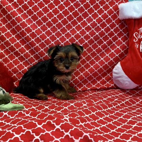 Yorkshire Terrier puppy for sale at canine corral located at 1845 New York Ave Huntington Station, NY 17746