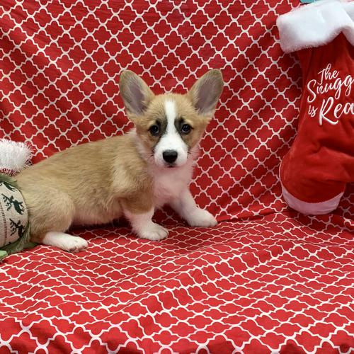 Pembroke Welsh Corgi puppy for sale at canine corral located at 1845 New York Ave Huntington Station, NY 17746