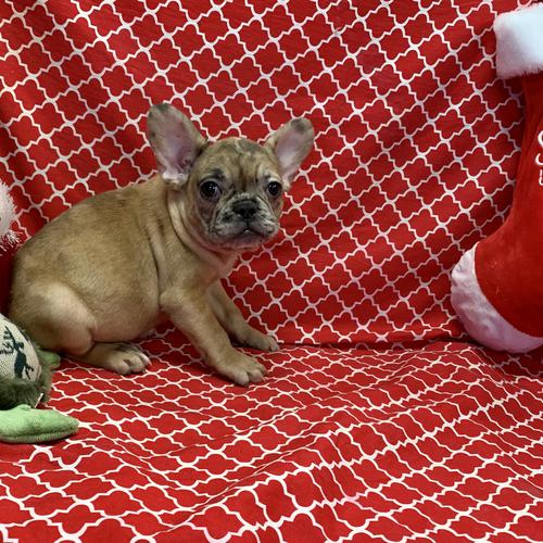 French Bulldog puppy for sale at canine corral located at 1845 New York Ave Huntington Station, NY 17746