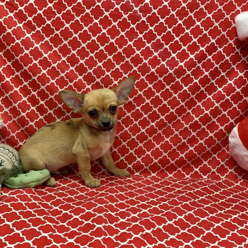 Chihuahua puppy for sale at canine corral located at 1845 New York Ave Huntington Station, NY 17746