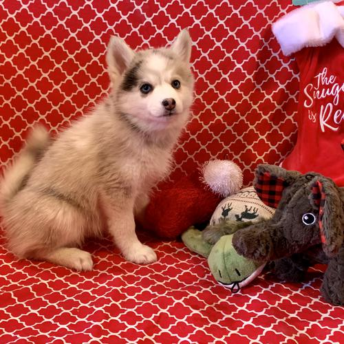 Pomsky puppy for sale at canine corral located at 1845 New York Ave Huntington Station, NY 17746