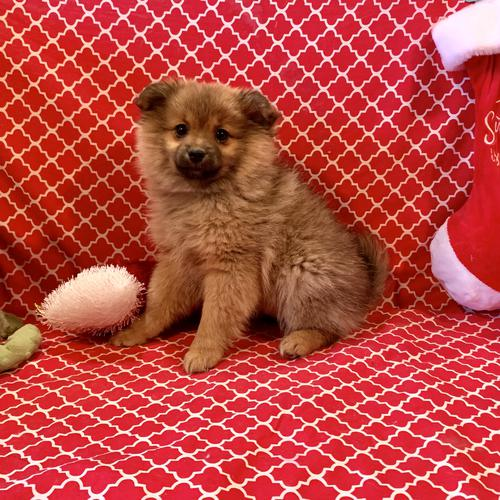 Pomeranian puppy for sale at canine corral located at 1845 New York Ave Huntington Station, NY 17746