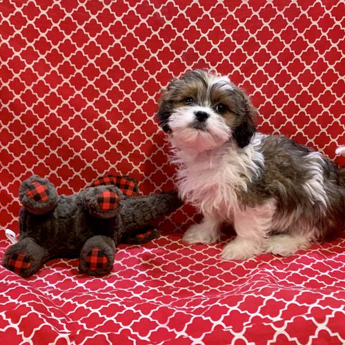 ShihPoo puppy for sale at canine corral located at 1845 New York Ave Huntington Station, NY 17746