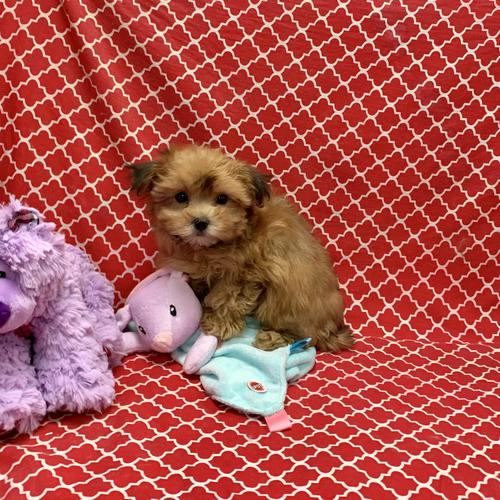 Morkie puppy for sale at canine corral located at 1845 New York Ave Huntington Station, NY 17746