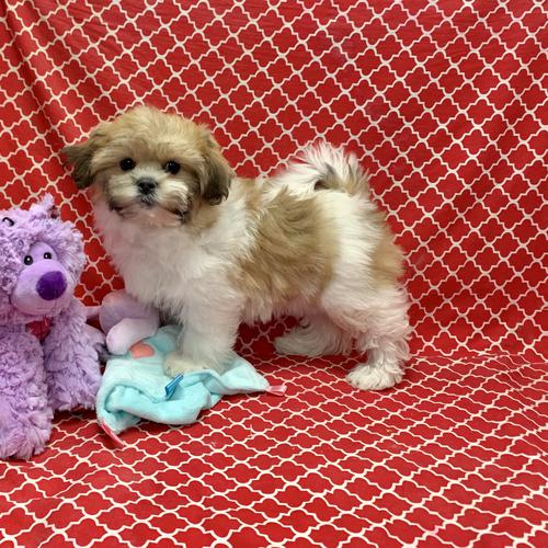 Teddy Bear puppy for sale at canine corral located at 1845 New York Ave Huntington Station, NY 17746