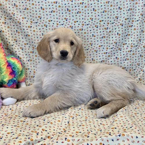 Golden Retriever puppy for sale at canine corral located at 1845 New York Ave Huntington Station, NY 17746