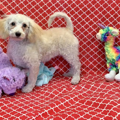 Bernedoodle puppy for sale at canine corral located at 1845 New York Ave Huntington Station, NY 17746
