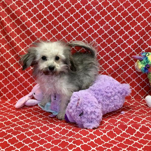 Bichonpoo puppy for sale at canine corral located at 1845 New York Ave Huntington Station, NY 17746