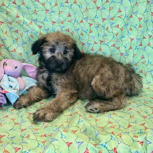 Soft Coated Wheaten Terrier puppy for sale at canine corral located at 1845 New York Ave Huntington Station, NY 17746