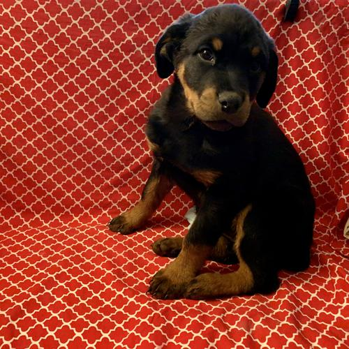 Rottweiler puppy for sale at canine corral located at 1845 New York Ave Huntington Station, NY 17746