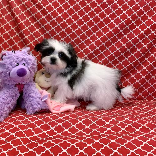 Malshi puppy for sale at canine corral located at 1845 New York Ave Huntington Station, NY 17746