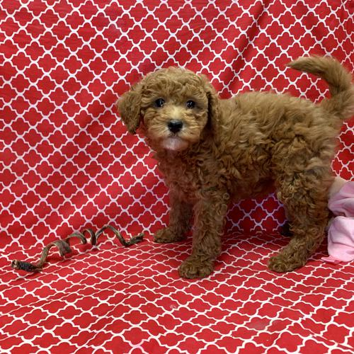 Mini Goldendoodle puppy for sale at canine corral located at 1845 New York Ave Huntington Station, NY 17746